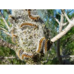 Eco piège à chenille processionnaire du pin diamètre 55 cm